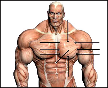 SEO (Synthol) Guide - Pectorals • HowToDoInjections com